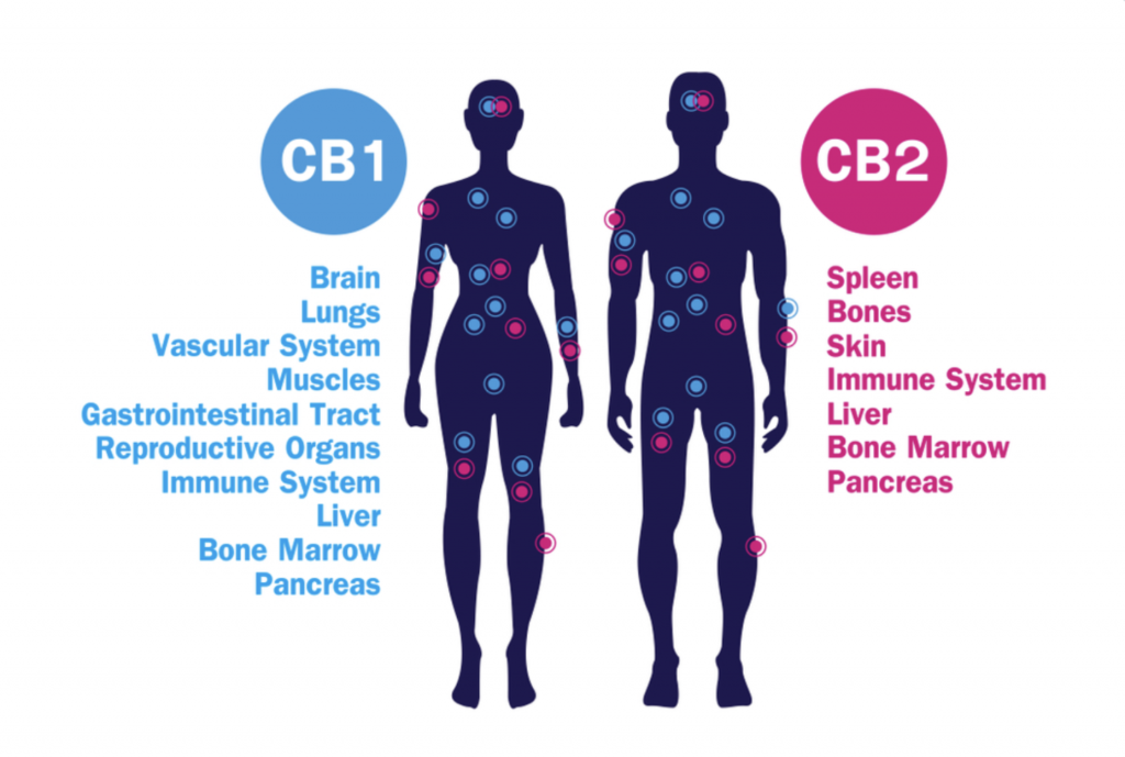 CBD and its effect on CB1 and CB2 receptors